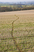 Badger trail across crop field, Gloucestershire, United Kingdom.