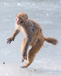 January 30, 2018 - Nanjin, Nanjin, China - Nanjing,CHINA-30th January 2018: Monkeys play on frozen lake at a zoo in Nanjing, east China's Jiangsu Province, marking the upcoming Spring Festival. (Credit Image: © SIPA Asia via ZUMA Wire)