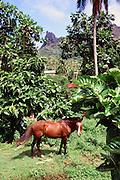 Horse, Marquesas, French Polynesia