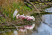 A Great Egret joins a flock of Roseate Spoonbills to forage in a coastal marsh at the Bear Island Wildlife Management Area in Green Pond, South Carolina.