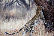 Leopard (Panthera pardus) in the wild. Photographed at Serengeti National Park, Tanzania