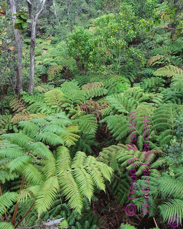 Hawaiian tree ferns (Cibotium splendens) also called the hapu'u, form a dominant understory in the tropical rainforest in Hawaii Volcanoes National Park, © David A. Ponton