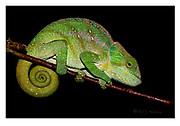 O'Shaughnessy's chameleon from Ranomafana NP, Madagascar. Nikon D850, 105mm, f20, 1/250sec, SB900 TTL flashlight, Manual modus.