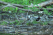 Male and female wood ducks in a stream that feeds Cayuga Lake in Ithaca, NY.