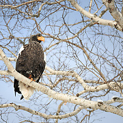 Steller's sea eagle (Haliaeetus pelagicus) looking out to sea from a comfortable perch on a tree branch. Photographed in Rausu, Hokkaido, Japan.