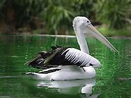 Australian Pelican, Perth, Western Australia