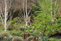 Spring bulbs amongst trees in John Massey's dell garden. Larix decidua 'Little Bogle' syn L. europaea (larch)  with Betula utilis var. jacquemontii (silver birch)