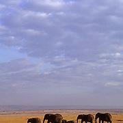 African Elephant (Loxodonta africana) Herd crossing the Serengeti plains. Masai Mara.Keny, Africa.
