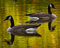 Canada Geese in the Pond. Image taken with a Nikon D300 camera and 80-400 VR lens (ISO 400, 330 mm, f/11, 1/80 sec).