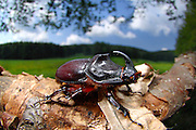 Der Nashornkäfer (Oryctes nasicornis) ist ein Käfer aus der der Familie der Blatthornkäfer (Scarabaeidae). Hier ein Männchen   Rhinoceros beetle (Oryctes nasicornis)