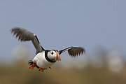 View of a flying Atlantic Puffin (Fratercula arctica) in the Farne Islands. The Atlantic Puffin is a seabird in the auk family.