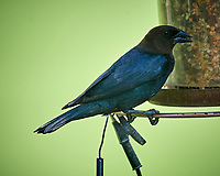Male Brown-headed Cowbird. Image taken with a Nikon D850 camera and 200-500 mm f/5.6 VR lens