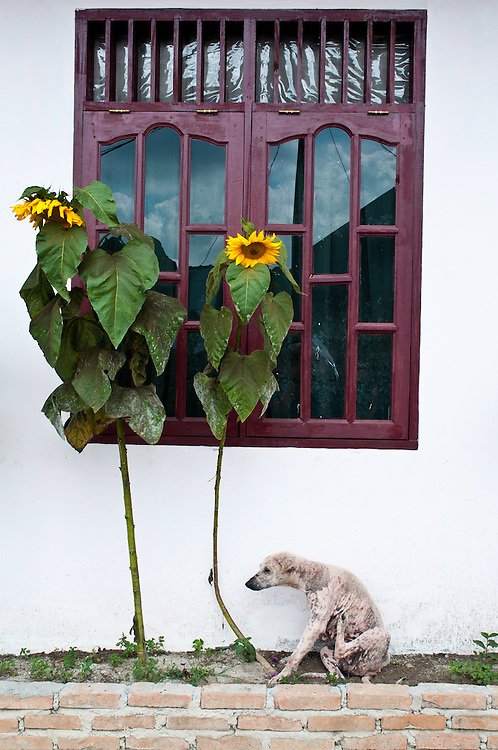 A mangy dog scratching itself in front of a house with sunflowers near Lake Toba, Sumatra, Indonesia