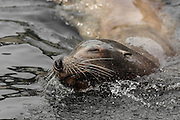 A New Zealand Fur Seal surfaces for air, next to our pelagic boat, just off the coast of Stewart Island.
