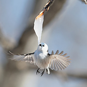 This is a long-tailed tit (Aegithalos caudatus) hovering in front of an icicle formed from the sap of a painted maple tree (Acer pictum). During winter months, small birds like this make use of this calorie-rich food source (essentially frozen maple syrup) to fuel their high metabolisms. The birds fly to an icicle, hover, break off a piece and fly away, all in the blink of eye. This is a delicate operation. Sometimes the birds fail to break off a piece, as seen in this series of four photographs. Image 3 in a sequence of 4.
