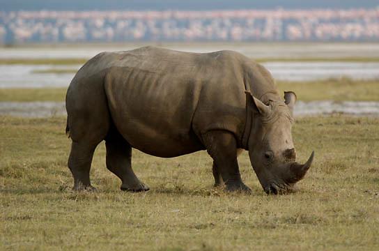 White Rhinoceros (Ceratotherium simum) Also know as the Grass Rhino.Lake Nakuru National Park. Kenya. Africa.