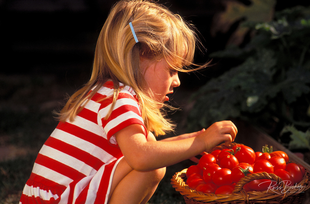 Child (age 3) picking a late harvest of ripe red home-grown tomatoes, California