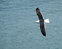 Lesser Black-backed Gull (Larus fuscus). Viewed from the deck of the MV Explorer. Image taken with a Nikon Df camera and 70-200 mm f/4 VR lens.