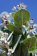 Blossoms of a rubberbush (Calotropis procera) against clear blue sky in the  Sahara desert, Chagaga, Morocco.