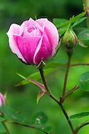 Miniature Rose flowers in a backyard garden in British Columbia, Canada