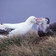 Wandering Albatross, (Diomedea exulans) Adult feeding chick. South Georgia Island.