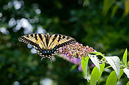A female tiger swallowtail perched on a blossom of a butterfly bush.