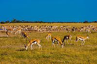 Springbok, Nxai Pan National Park, Botswana.