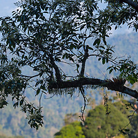 Kaeng Krachan  Epiphytes . An epiphyte is a plant that grows harmlessly upon another plant (such as a tree) and derives its moisture and nutrients from the air, rain, and sometimes from debris accumulating around it.