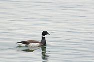 Goose in water