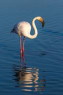 Greater flamingo feeding, Carmargue, France