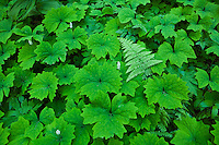 Green plants on the forest floor, Mount Rainier National Park, Washington, USA.
