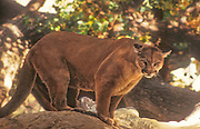 Mountain lion standing on a tree limb in the Angeles National Forest, California.