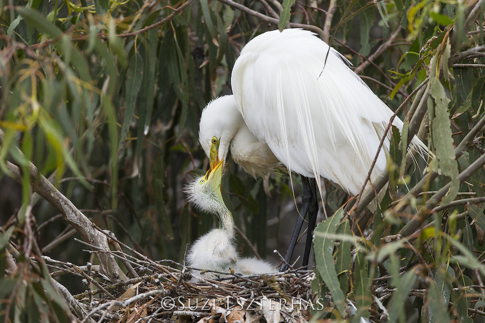 Great Egret <br /> Ardea alba<br /> Parent feeding one-week-old chick<br /> Sonoma County, California