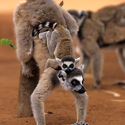 Ring-tailed Lemur, (Lemur catta) ENDANGERED SPECIES.Inhabits Madagascar. Scent-marking.