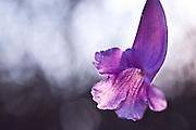 Nova Lima_MG, Brasil...Estacao Ecologica de Fechos em Nova Lima, Minas Gerais. Na foto Carobinha (Jacaranda ulei)...Fechos Ecological Station in Nova Lima, Minas Gerais. In this photo the flower (Jacaranda ulei)...Foto: JOAO MARCOS ROSA / NITRO