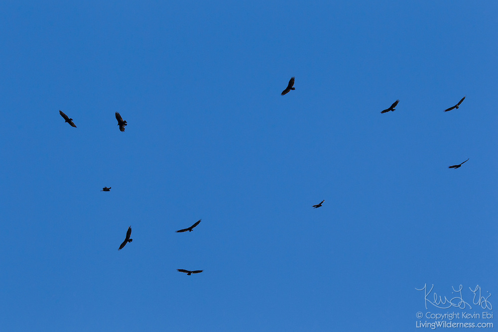 A group of turkey vultures (Cathartes aura) circles over the Malheur National Wildlife Refuge in southeastern Oregon. The turkey vultures circled to catch rising pockets of hot air, known as thermals, which carried them higher in the sky.