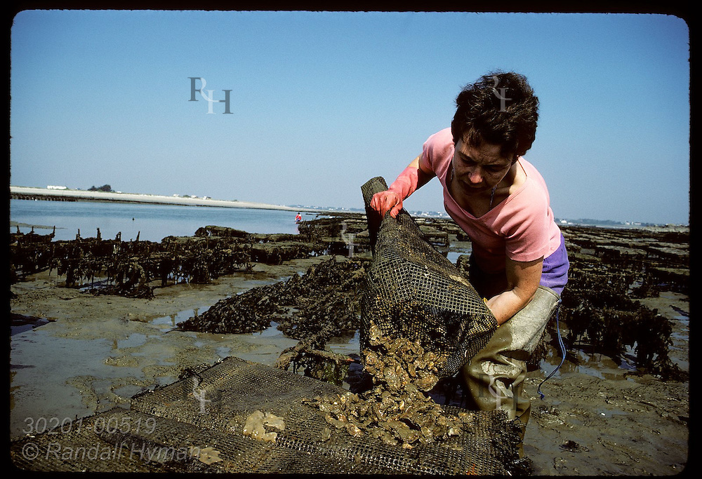 Liliane Le Goff empties Japanese oysters from net bag used to raise them in Quiberon Bay. France