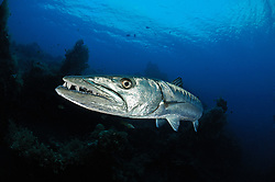 Sphyraena qenie, Dunkelflossen Barrakuda und Taucher, Blackfin Barracuda and scuba diver, Liberty Wrack Wreck, Tulamben, Bali, Indonesien, Indopazifik, Indonesia, Asien, Indo-Pacific Ocean, Asia