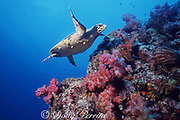 Hawksbill sea turlte, Eretmochelys imbricata, Critically Endangered Species, swims over pinnacle covered with soft corals, Dendronephthya sp., Richilieu Rock, Surin Islands, Thailand ( Indian Ocean )