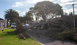 South Africa - Cape Town - 1 October 2020 - Wind damage has been reported all across the city. This tree in Freesia str., Goodwood, was uprooted due to strong winds. The tree fellers believe as a result of previous root trimming, the large tree was not able to withstand the strong winds experienced today. Picture Courtney Africa/African News Agency(ANA)