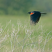 A Red-Winged Blackbird (Agelaius phoeniceus) perches in a field in Montana's Gallatin Valley, near Bozeman.