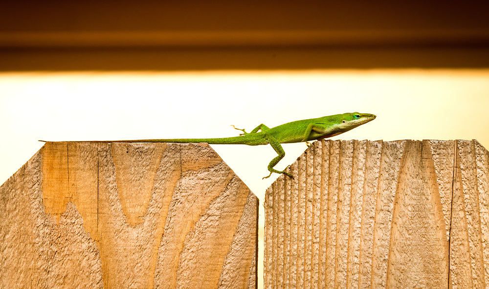 Green anoles change color from shades of brown to green, but they are not chameleons.  Houston, Texas