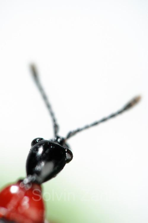 [captive] Hazel Leaf-roller Weevil (Apoderus coryli) Westensee, Germany | Der Haselblattroller (Apoderus coryli) aus der Familie der Dickkopfrüssler (Attelabidae) ist kontrastreich gefärbt.