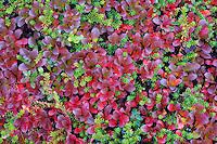 Mix of autumnal mountain bearberry (arctostaphylos alpinus) and crowberry (Empetrum nigrum hermaphroditum), Sarek National Park, Laponia World Heritage Site, Sweden