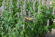 Western tiger swallowtail butterfly on Korean hyssop flowers