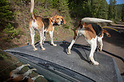 White Dog's Walker coonhounds rigged during a 2019 Idaho spring black bear hunt. Lead dog Ranger is on the right.