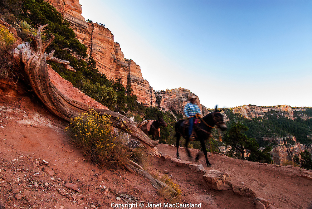 Yellow wildflowers and dead wood sideline the Kaibab Trail where a cowboy leads his mule train down the Grand Canyon.
