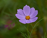 Cosmos. Image taken with a Leica CL camera and Sigma 100-400 mm lens