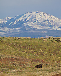 Scar Face, Yellowstone Grizzly Bear, Lamar Valley, Yellowstone National Park.
