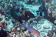 a hunting coalition consisting of peacock groupers or blue-spotted grouper, Cephalopholis argus, a bluefin jack or bluefin trevally, Caranx melampygus, and blue goatfish or yellowsaddle goatfish, Parupeneus cyclostomus, gather around a coral head where a moray eel is hunting, hoping to catch small fish flushed out by the eel; Honokohau, North Kona, Big Island, Hawaii, USA ( Central Pacific Ocean )